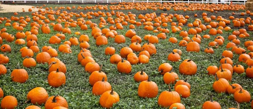 Canyon Lake Pumpkin Patches
